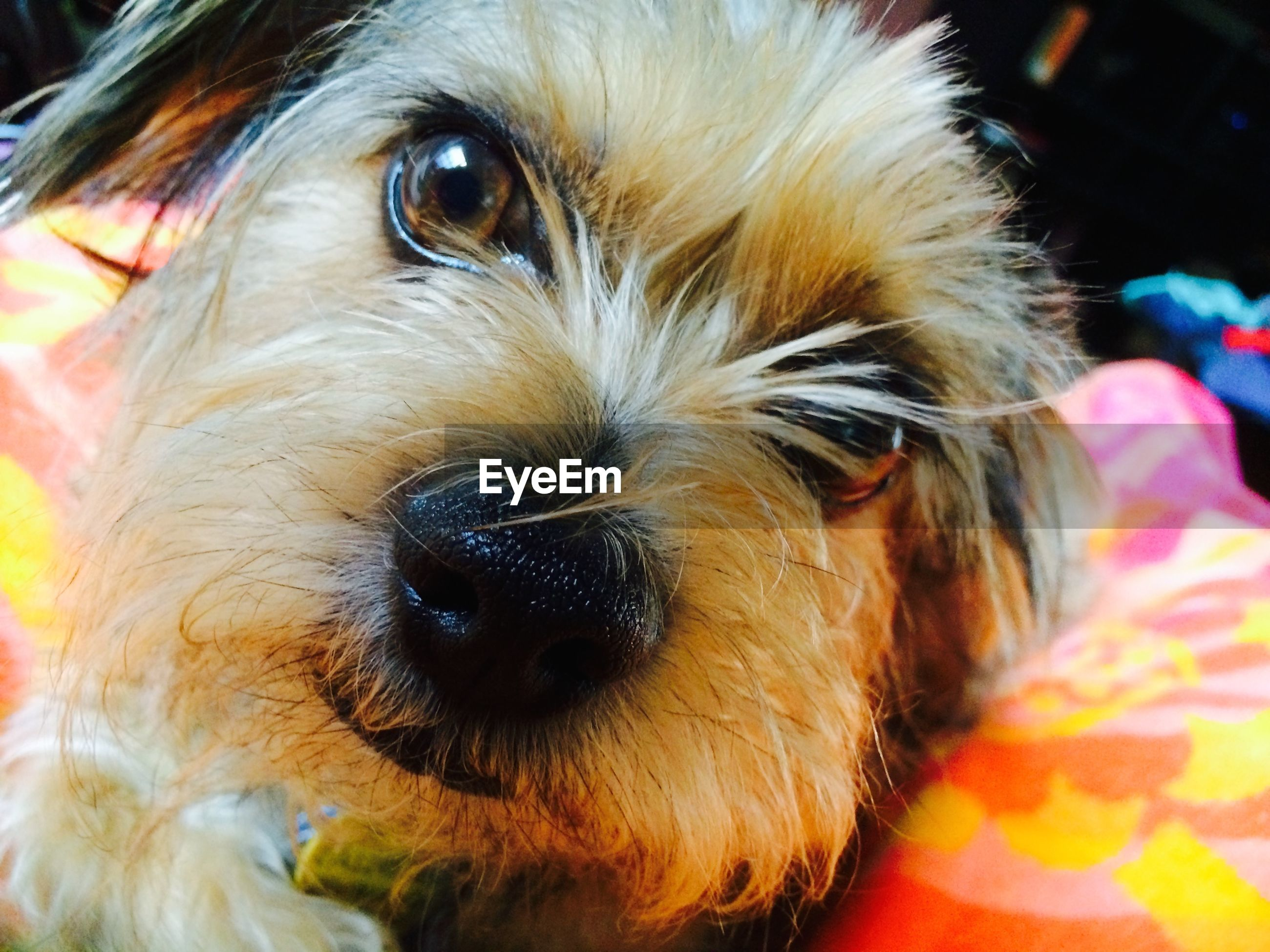 dog, pets, domestic animals, one animal, animal themes, mammal, close-up, indoors, animal head, animal body part, snout, portrait, looking at camera, animal hair, animal nose, relaxation, pampered pets, loyalty, no people, canine