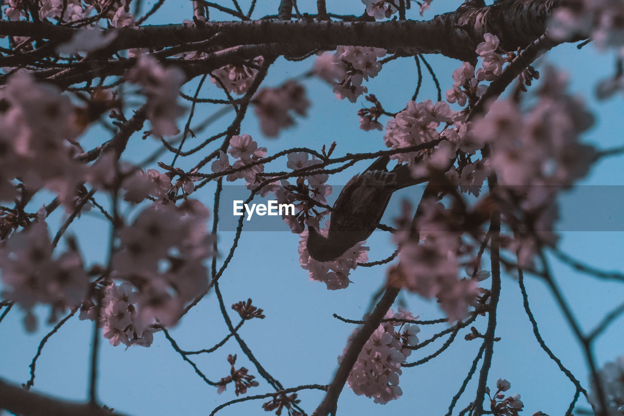 tree, branch, plant, flower, flowering plant, fragility, low angle view, growth, vulnerability, beauty in nature, blossom, nature, day, selective focus, no people, focus on foreground, pink color, close-up, freshness, springtime, outdoors, cherry blossom, cherry tree, spring