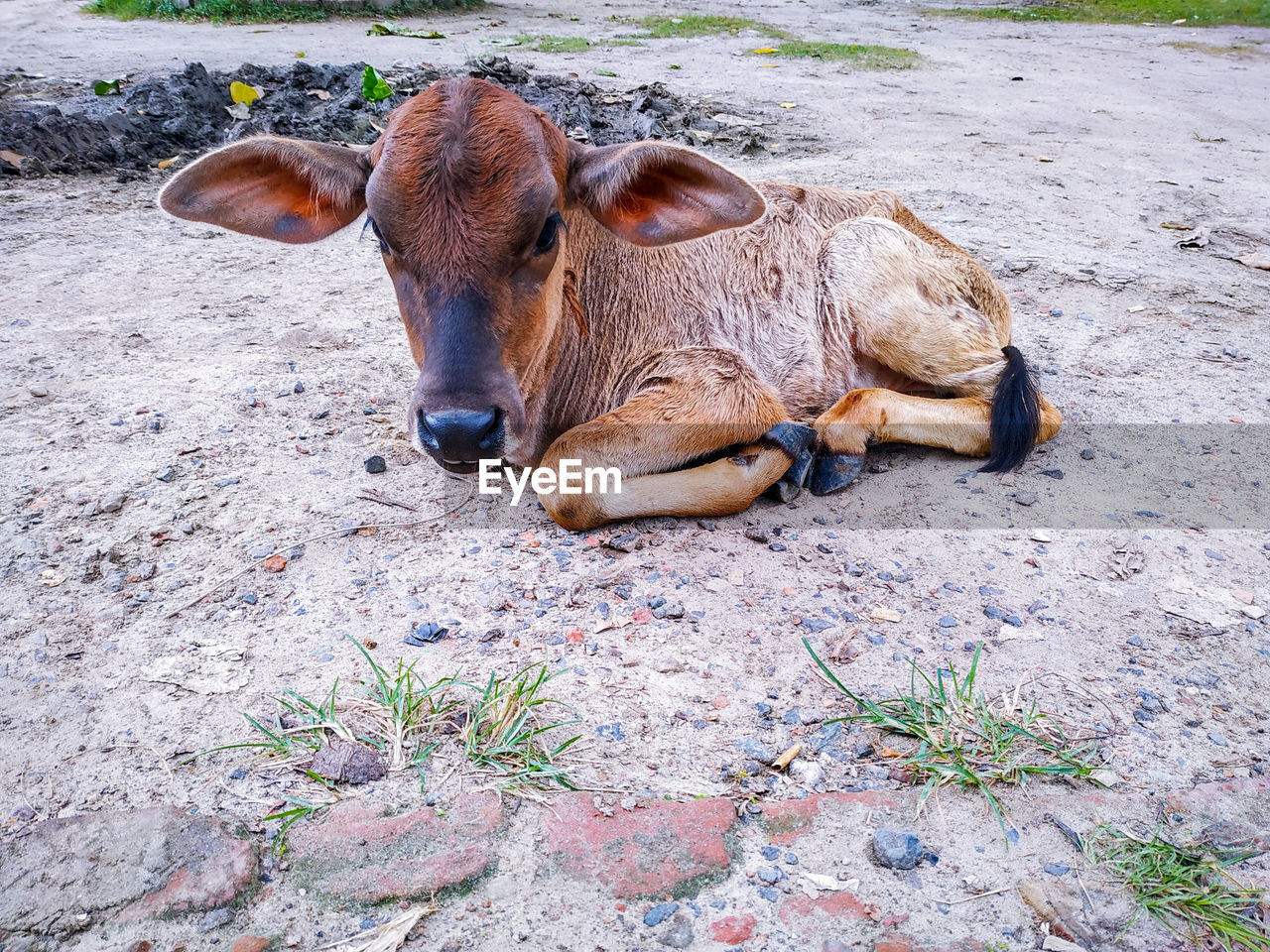 mammal, animal, animal themes, domestic, livestock, domestic animals, pets, vertebrate, group of animals, day, no people, land, nature, high angle view, field, brown, two animals, animal wildlife, relaxation, herbivorous, outdoors, animal head