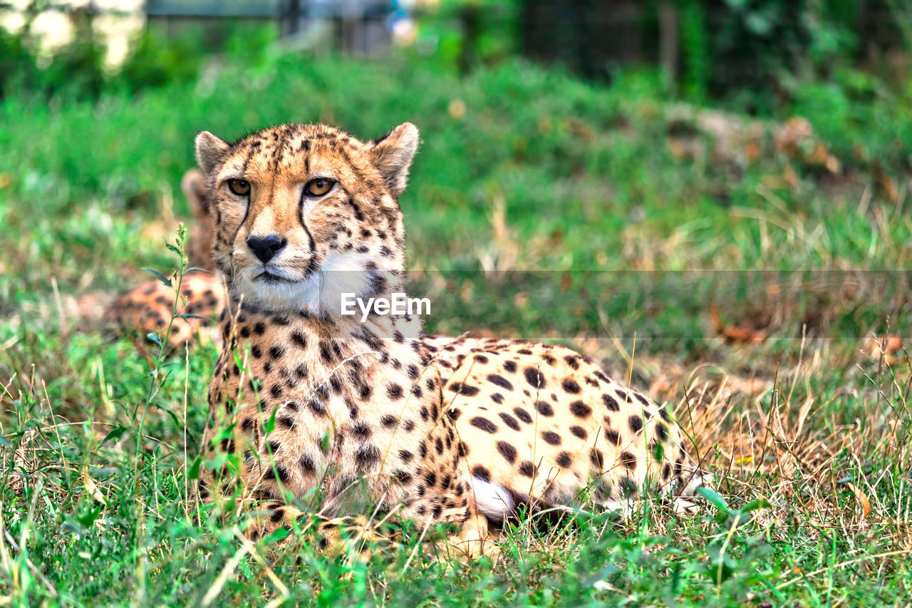 animal, animal themes, animal wildlife, mammal, cat, animals in the wild, feline, one animal, big cat, cheetah, grass, safari, spotted, nature, plant, no people, portrait, day, looking, outdoors, undomesticated cat