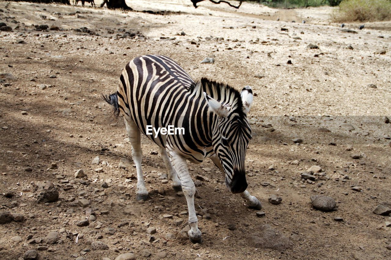 High Angle View Of Zebra On Field