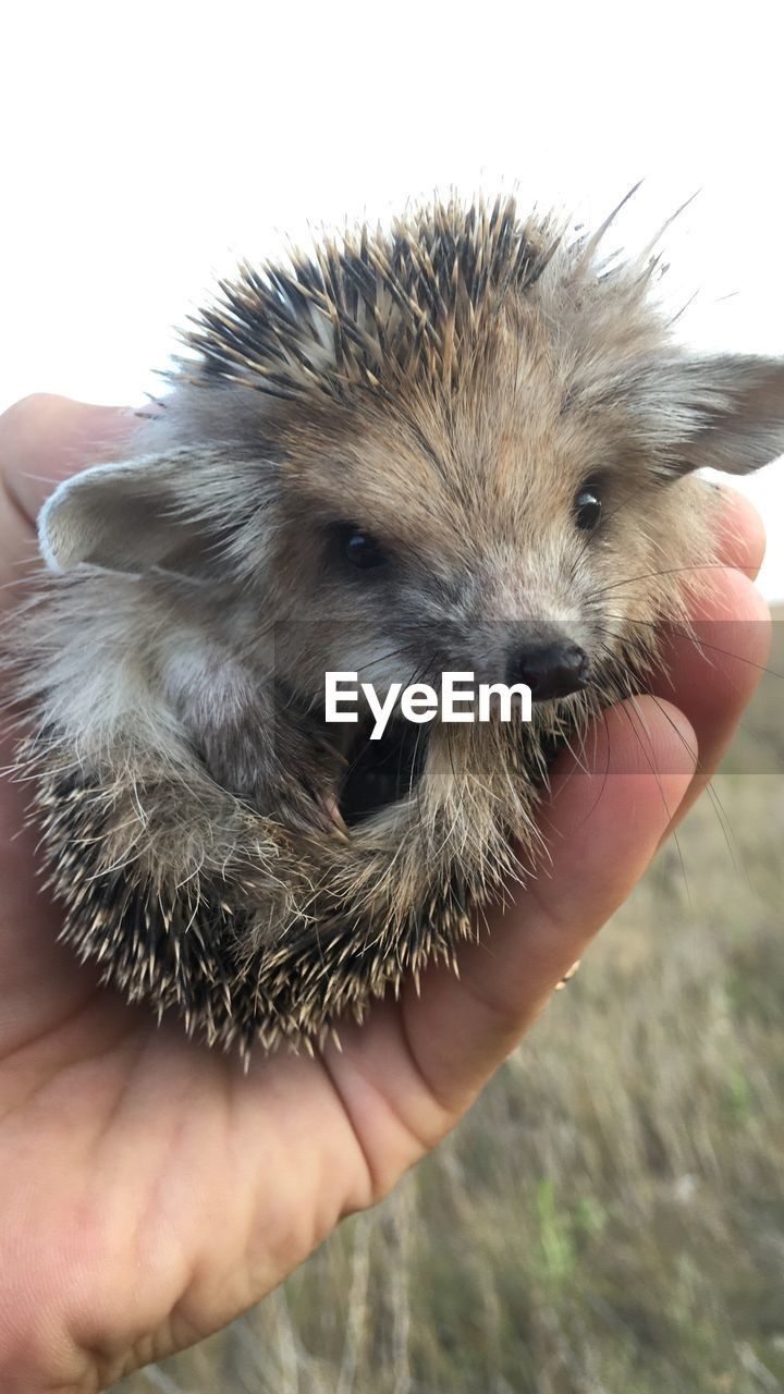 human hand, one animal, holding, mammal, hand, human body part, real people, unrecognizable person, one person, animal wildlife, close-up, focus on foreground, body part, vertebrate, domestic, finger, hedgehog, care, pet owner