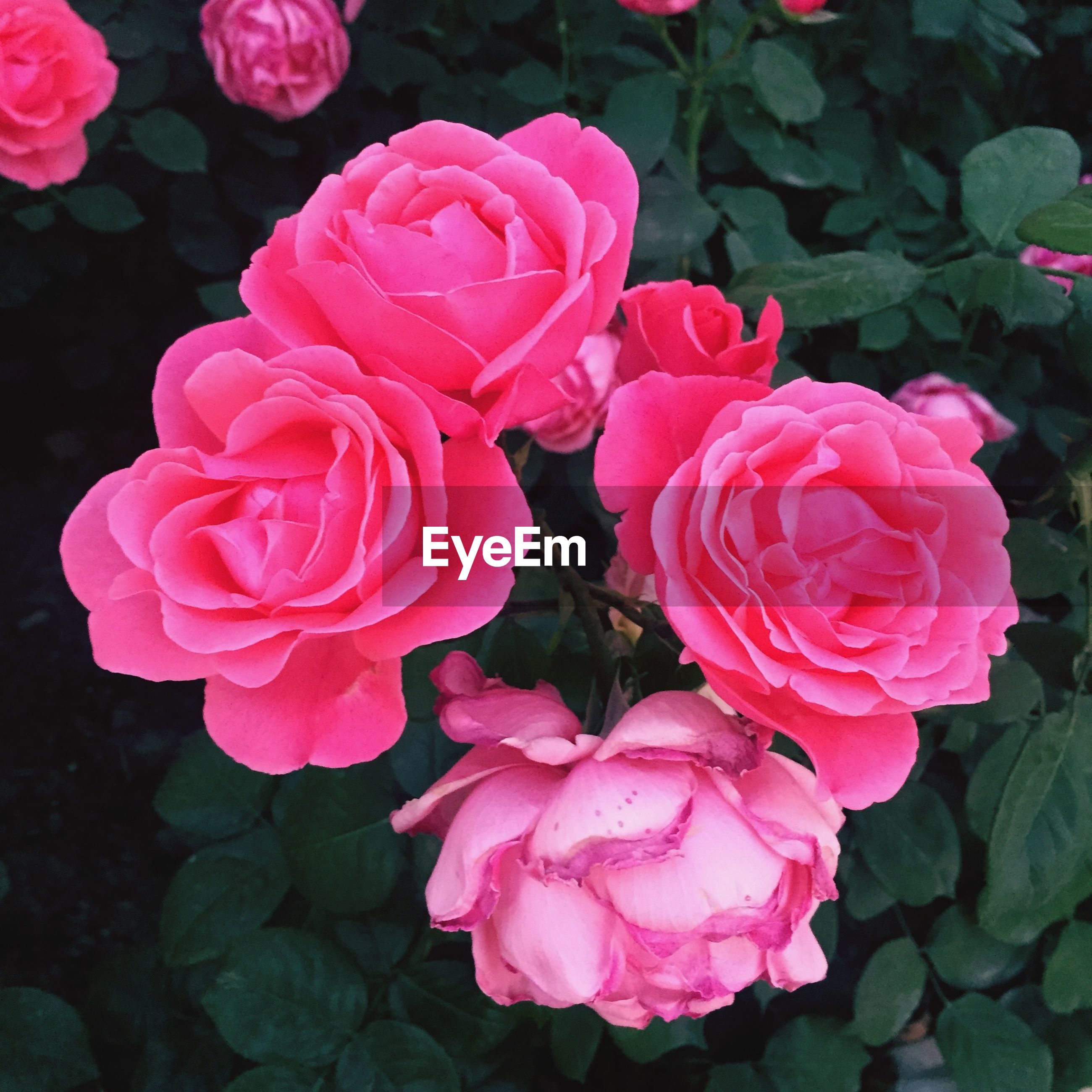flower, petal, freshness, fragility, flower head, pink color, beauty in nature, rose - flower, growth, close-up, nature, blooming, high angle view, plant, leaf, pink, rose, in bloom, blossom, no people