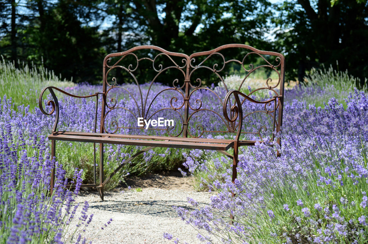 Metallic bench amidst lavender flowers at park