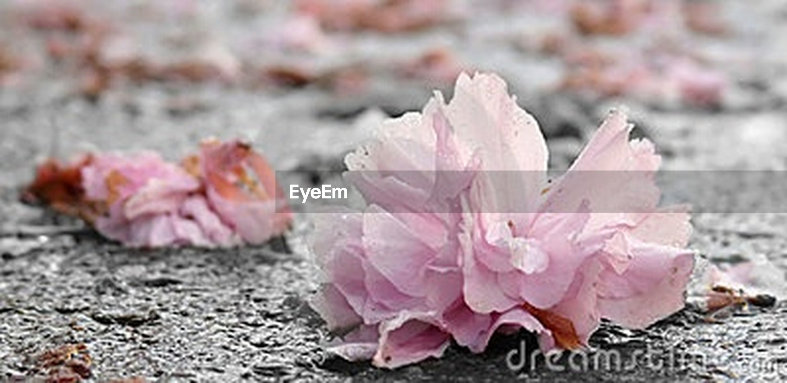 flower, petal, fragility, flower head, freshness, close-up, focus on foreground, beauty in nature, nature, pink color, growth, blooming, plant, leaf, high angle view, day, outdoors, in bloom, field, season