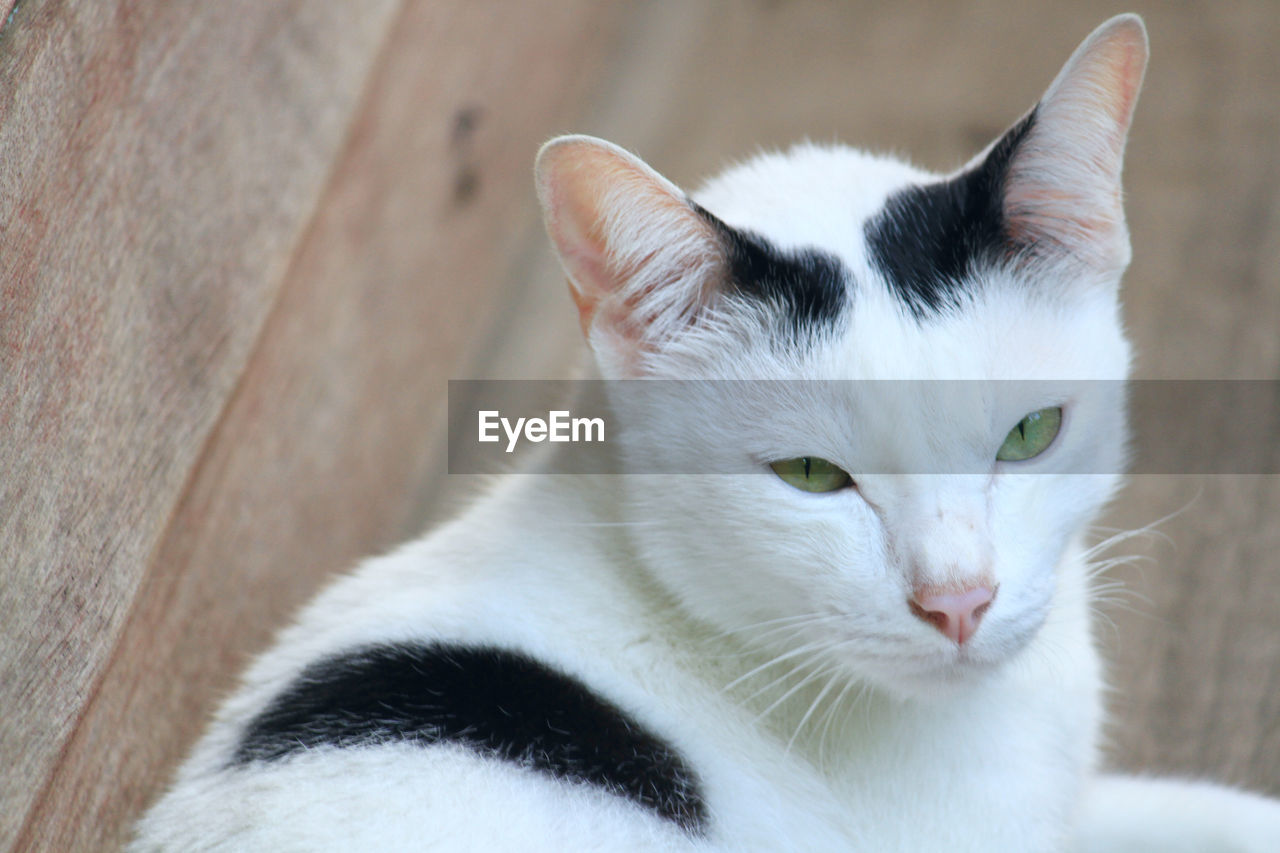 domestic cat, pets, domestic animals, feline, mammal, animal themes, one animal, cat, looking at camera, portrait, whisker, no people, close-up, indoors, day