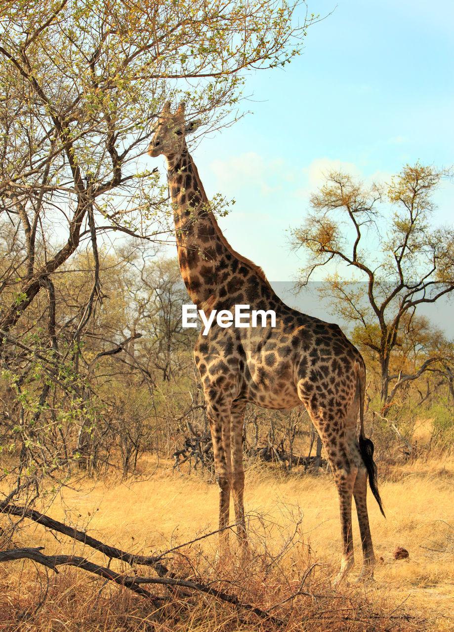 animals in the wild, mammal, tree, one animal, animal themes, animal wildlife, nature, safari animals, giraffe, day, standing, outdoors, no people, full length, sky