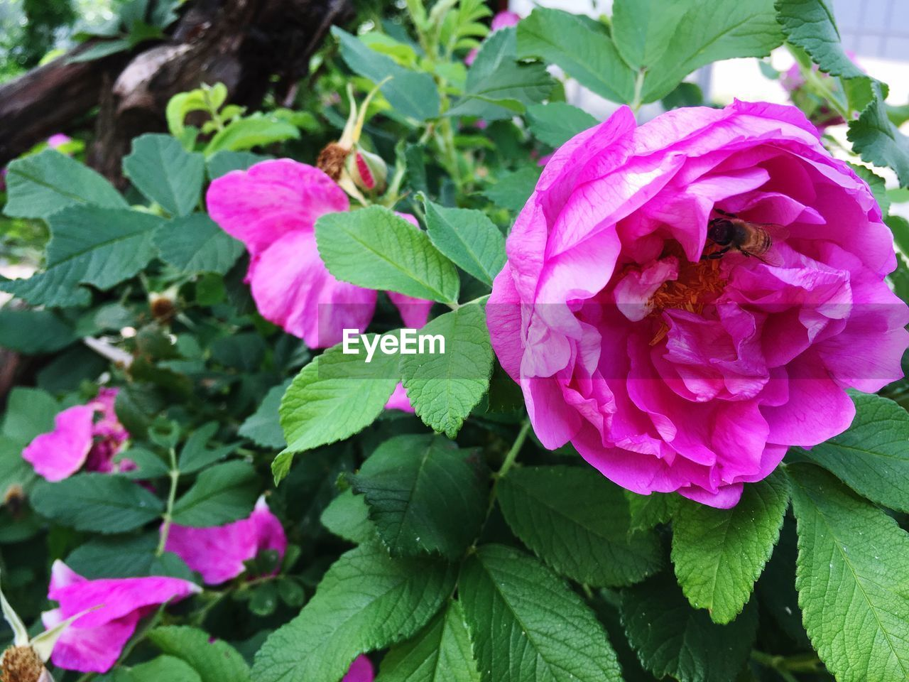 flowering plant, flower, plant, leaf, plant part, beauty in nature, petal, growth, freshness, pink color, fragility, vulnerability, flower head, close-up, inflorescence, nature, green color, day, no people, rose, outdoors, purple