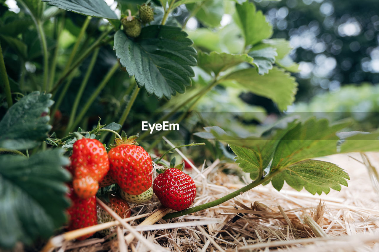 fruit, berry fruit, food and drink, healthy eating, food, leaf, plant part, freshness, red, strawberry, growth, nature, wellbeing, plant, close-up, day, selective focus, no people, green color, agriculture, ripe