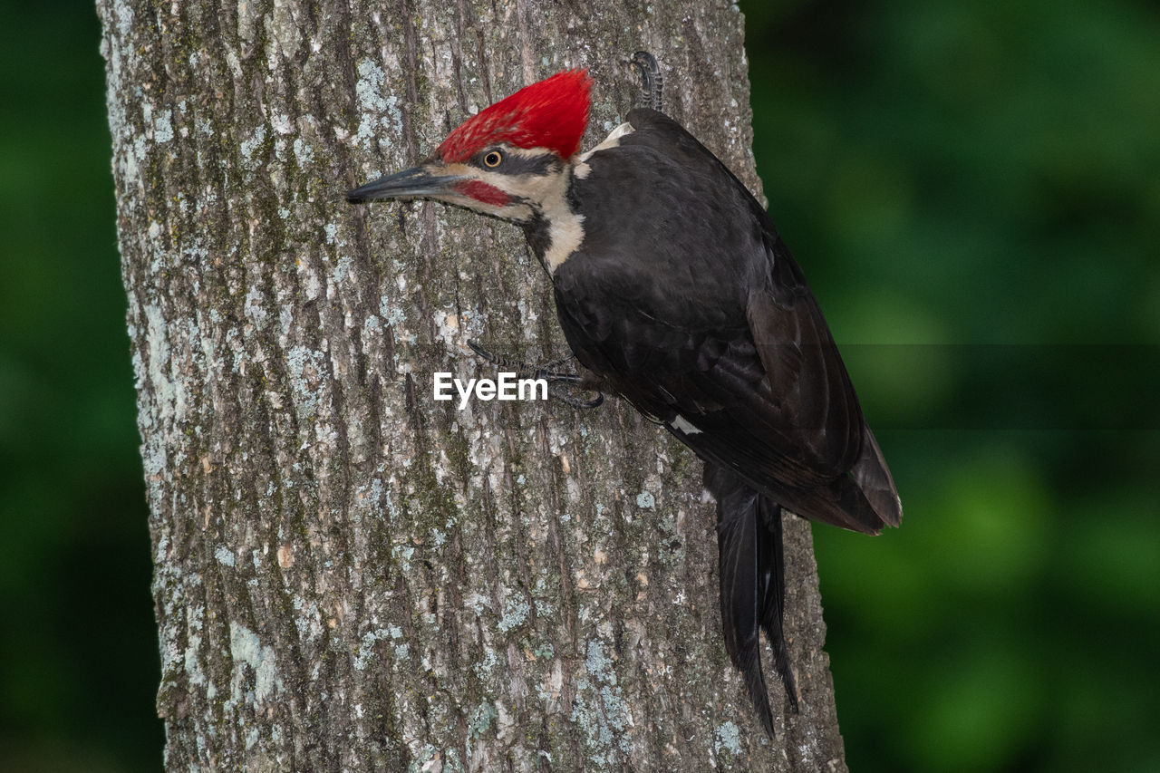 bird, animals in the wild, animal themes, animal wildlife, animal, vertebrate, tree, one animal, focus on foreground, perching, tree trunk, trunk, plant, no people, day, nature, close-up, woodpecker, outdoors, wood - material