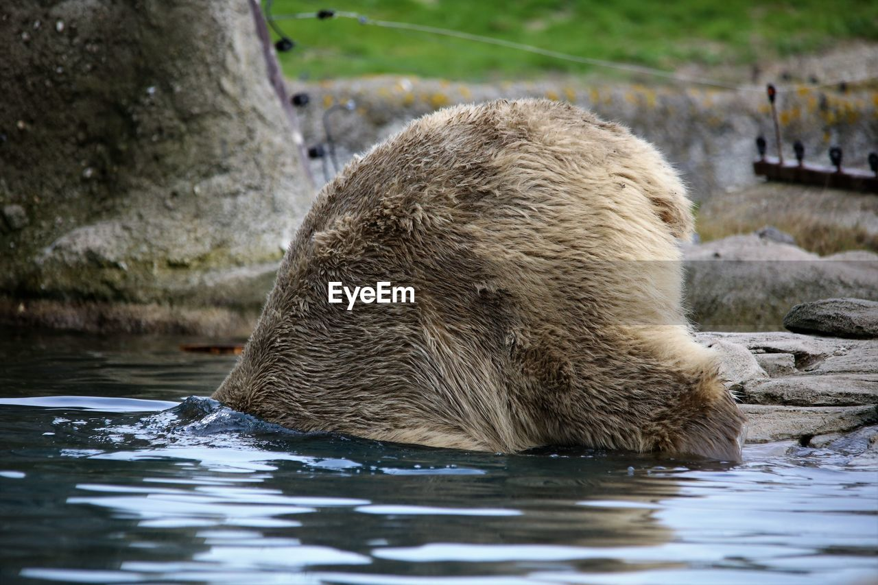 one animal, animals in the wild, bear, mammal, animal themes, animal wildlife, water, nature, no people, day, outdoors, aquatic mammal, close-up