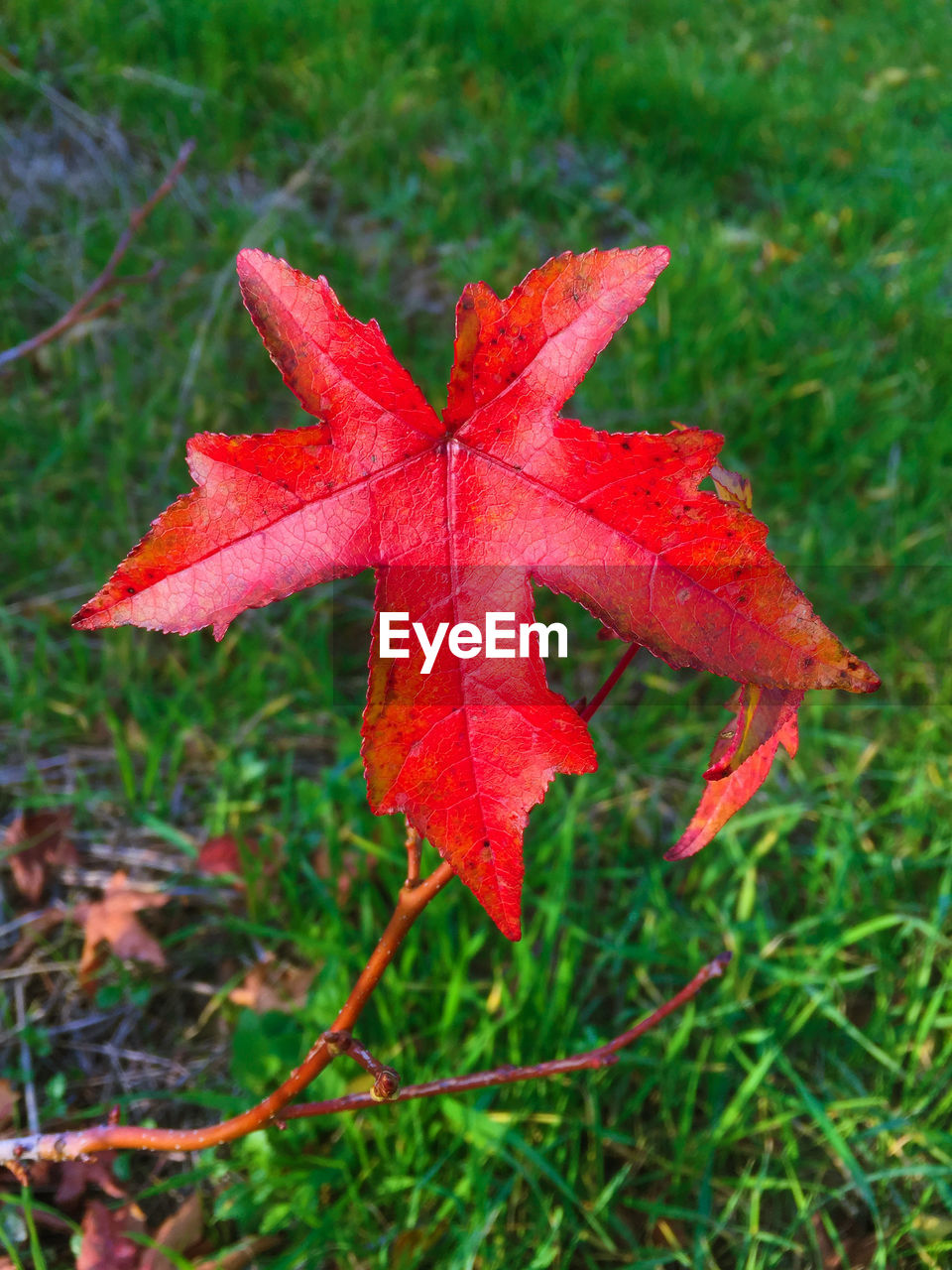 leaf, autumn, change, red, maple leaf, nature, day, maple, focus on foreground, outdoors, close-up, fragility, no people, grass, growth, beauty in nature, water