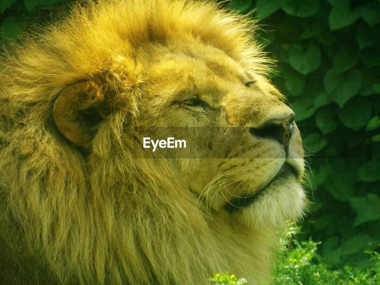 one animal, animal, animal themes, mammal, feline, animals in the wild, cat, lion - feline, animal wildlife, close-up, animal body part, vertebrate, animal head, no people, day, focus on foreground, domestic animals, big cat, looking, whisker