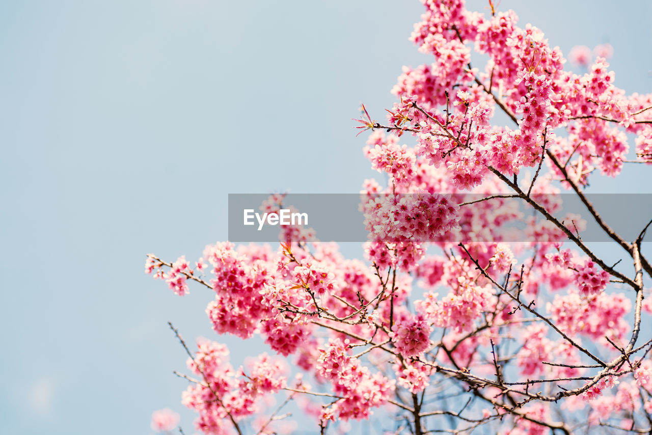 flower, pink color, flowering plant, growth, fragility, plant, beauty in nature, freshness, low angle view, tree, vulnerability, branch, sky, blossom, nature, springtime, cherry blossom, day, cherry tree, no people, outdoors, flower head, plum blossom, bunch of flowers, spring