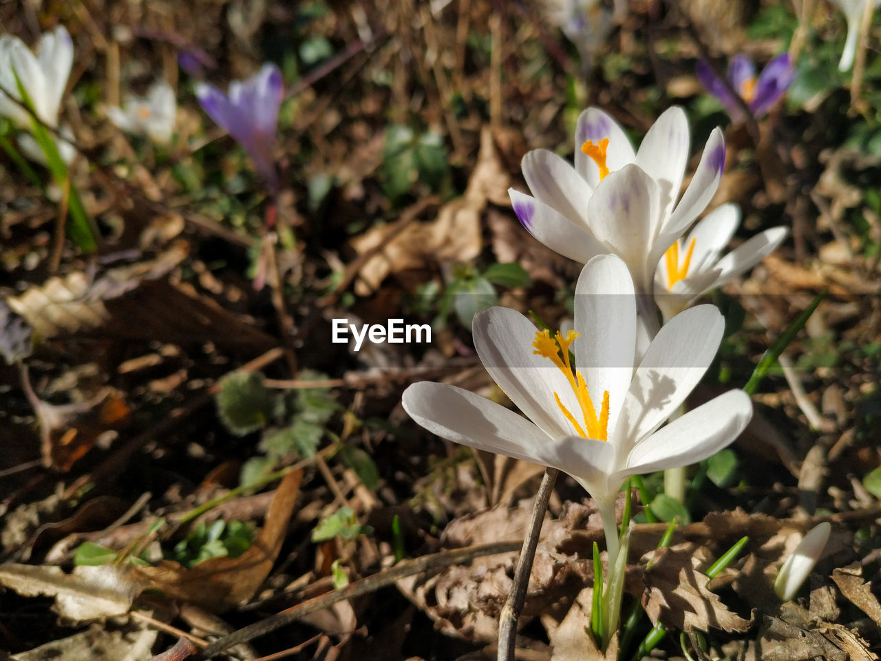 flowering plant, flower, vulnerability, beauty in nature, fragility, petal, freshness, plant, growth, close-up, flower head, inflorescence, nature, crocus, land, iris, field, no people, white color, focus on foreground, pollen, purple