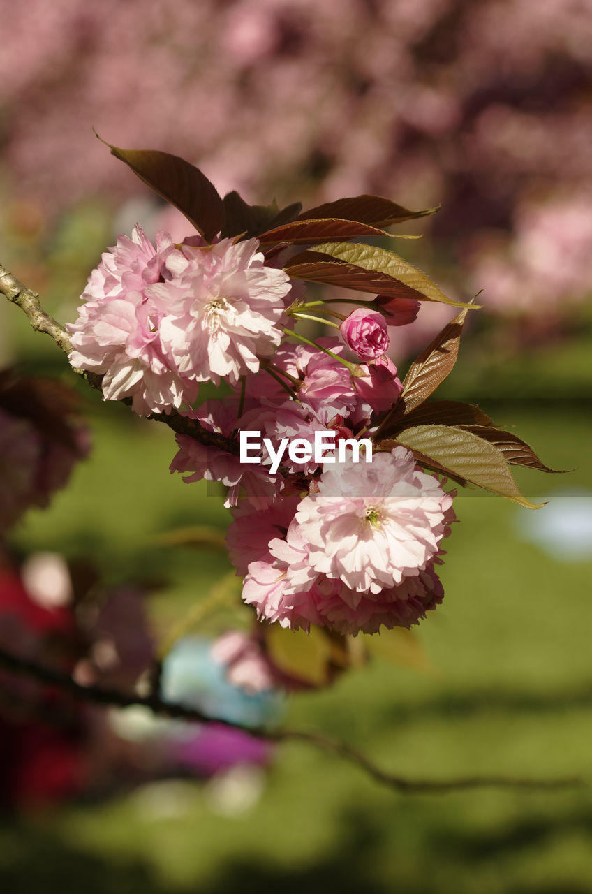 CLOSE-UP OF FRESH PINK FLOWERS BLOOMING ON TREE