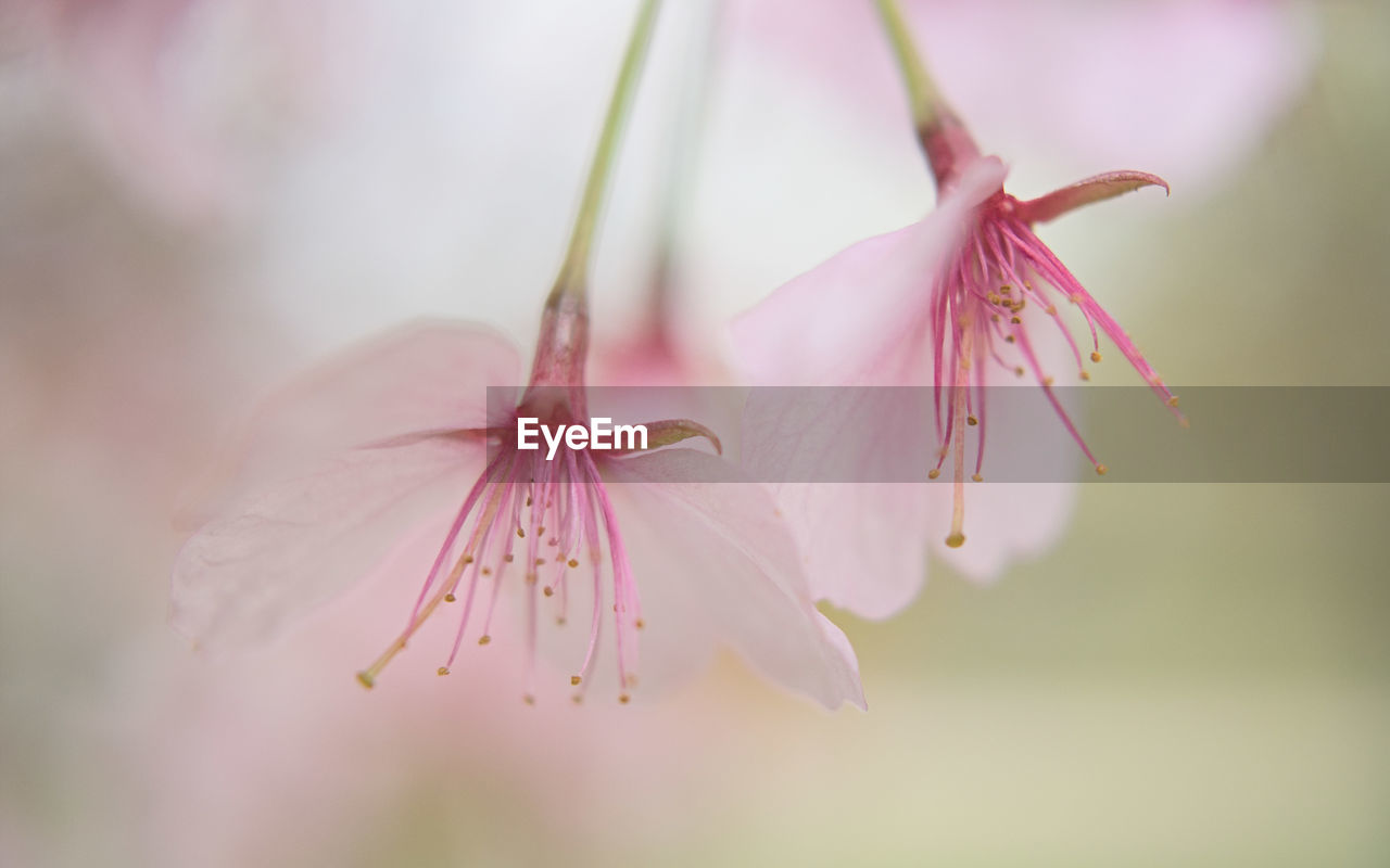 flower, plant, flowering plant, fragility, beauty in nature, vulnerability, close-up, pink color, petal, freshness, growth, selective focus, inflorescence, flower head, no people, pollen, nature, blossom, botany, springtime, outdoors, cherry blossom