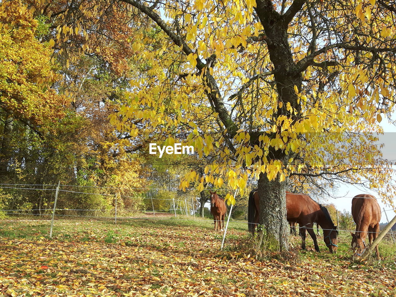 autumn, tree, leaf, change, nature, animal themes, mammal, beauty in nature, field, tranquility, no people, outdoors, day, domestic animals, livestock, branch, yellow, scenics, full length