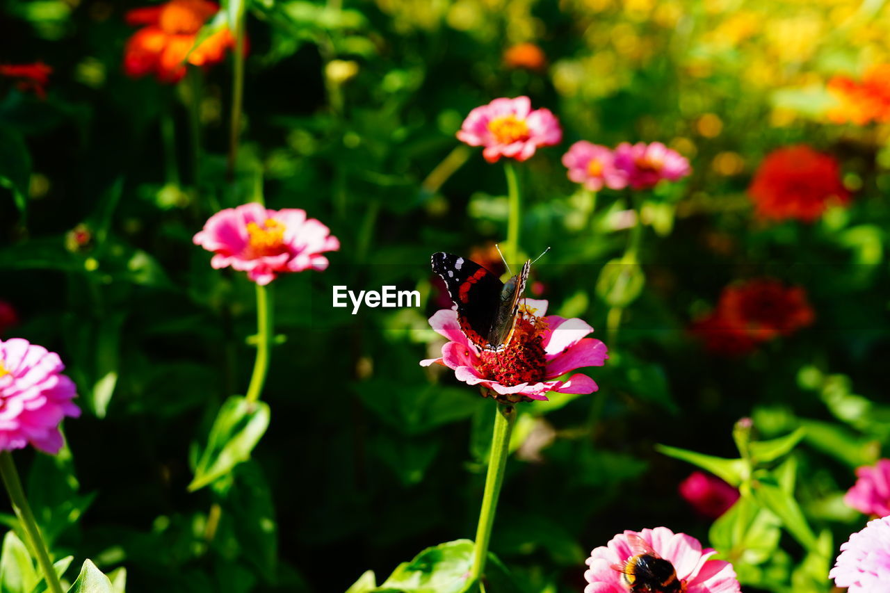 flowering plant, flower, plant, petal, fragility, freshness, beauty in nature, vulnerability, animal themes, growth, insect, animal, one animal, animals in the wild, flower head, animal wildlife, invertebrate, bee, close-up, pollination, pink color, no people, bumblebee, purple