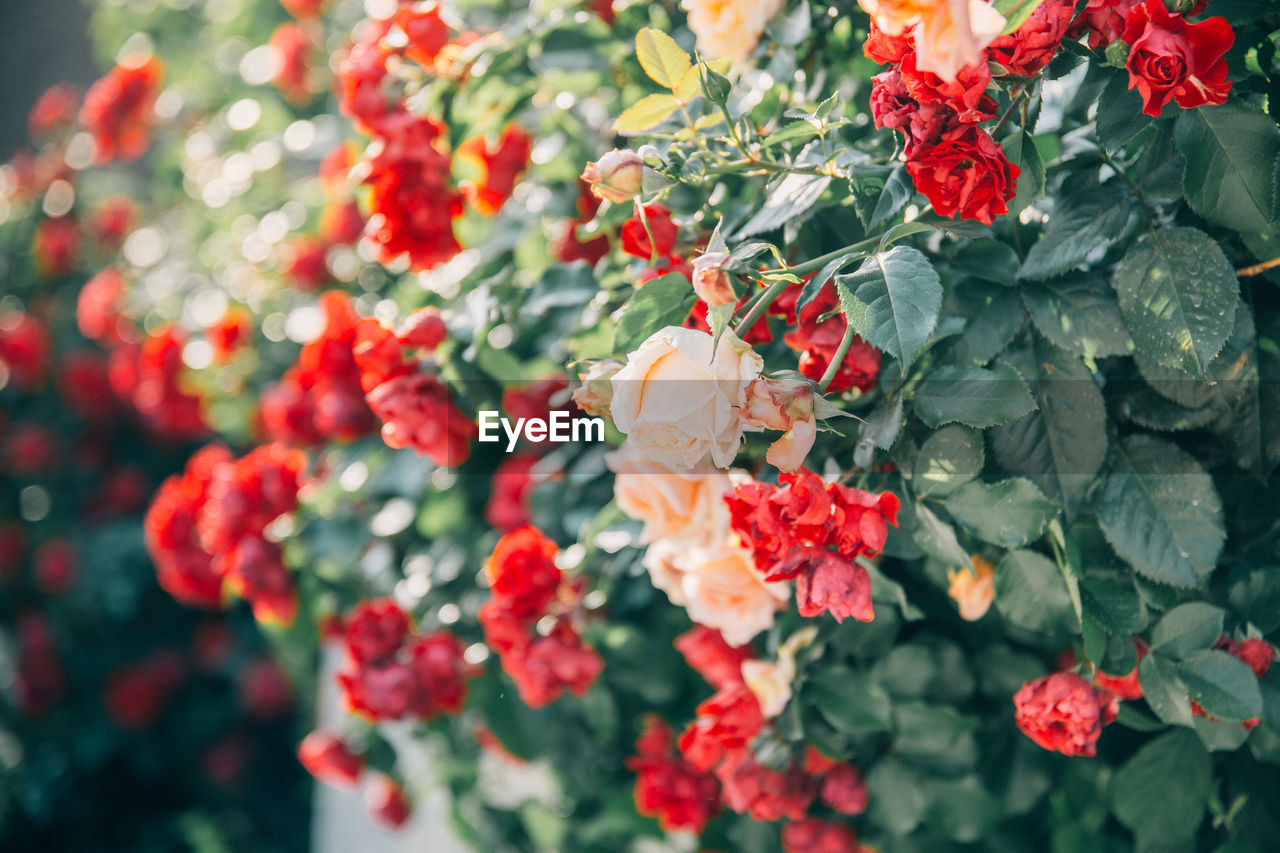 flower, freshness, flowering plant, beauty in nature, vulnerability, plant, fragility, red, growth, petal, nature, flower head, close-up, day, no people, inflorescence, selective focus, plant part, outdoors, leaf, bunch of flowers, lantana, flower arrangement, rowanberry, bouquet