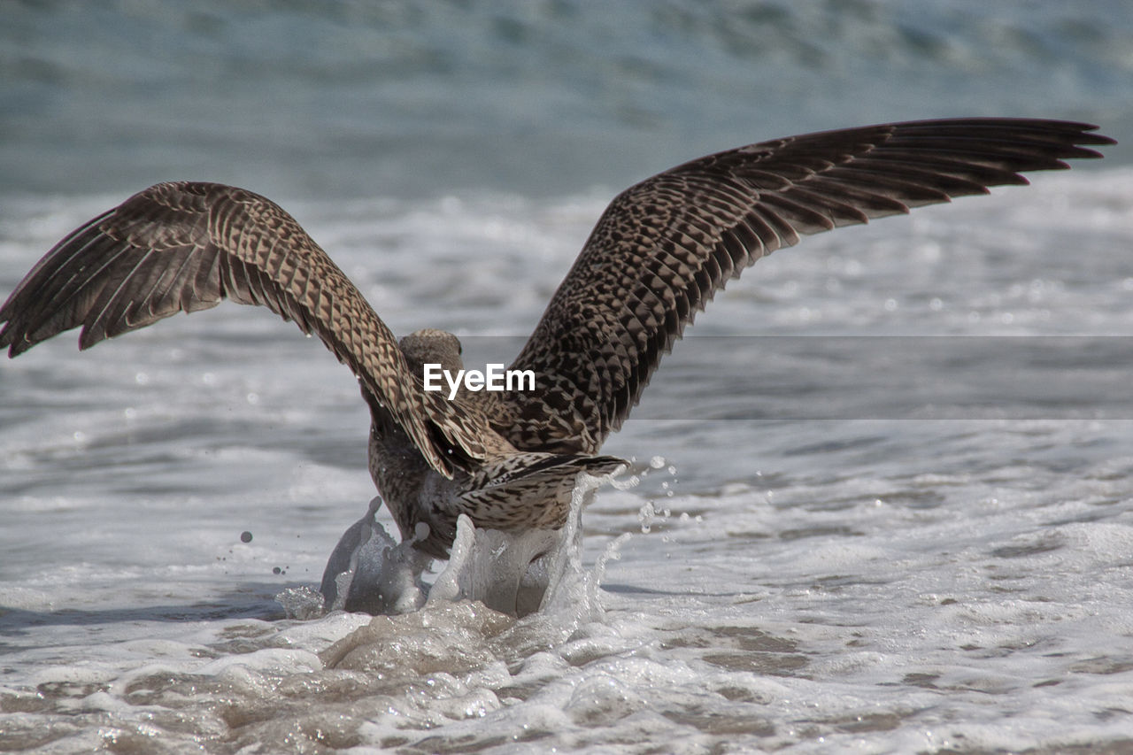 animal wildlife, animals in the wild, flying, animal themes, animal, vertebrate, spread wings, bird, water, one animal, motion, sea, nature, waterfront, day, no people, focus on foreground, beauty in nature, bird of prey, outdoors, animal wing, seagull