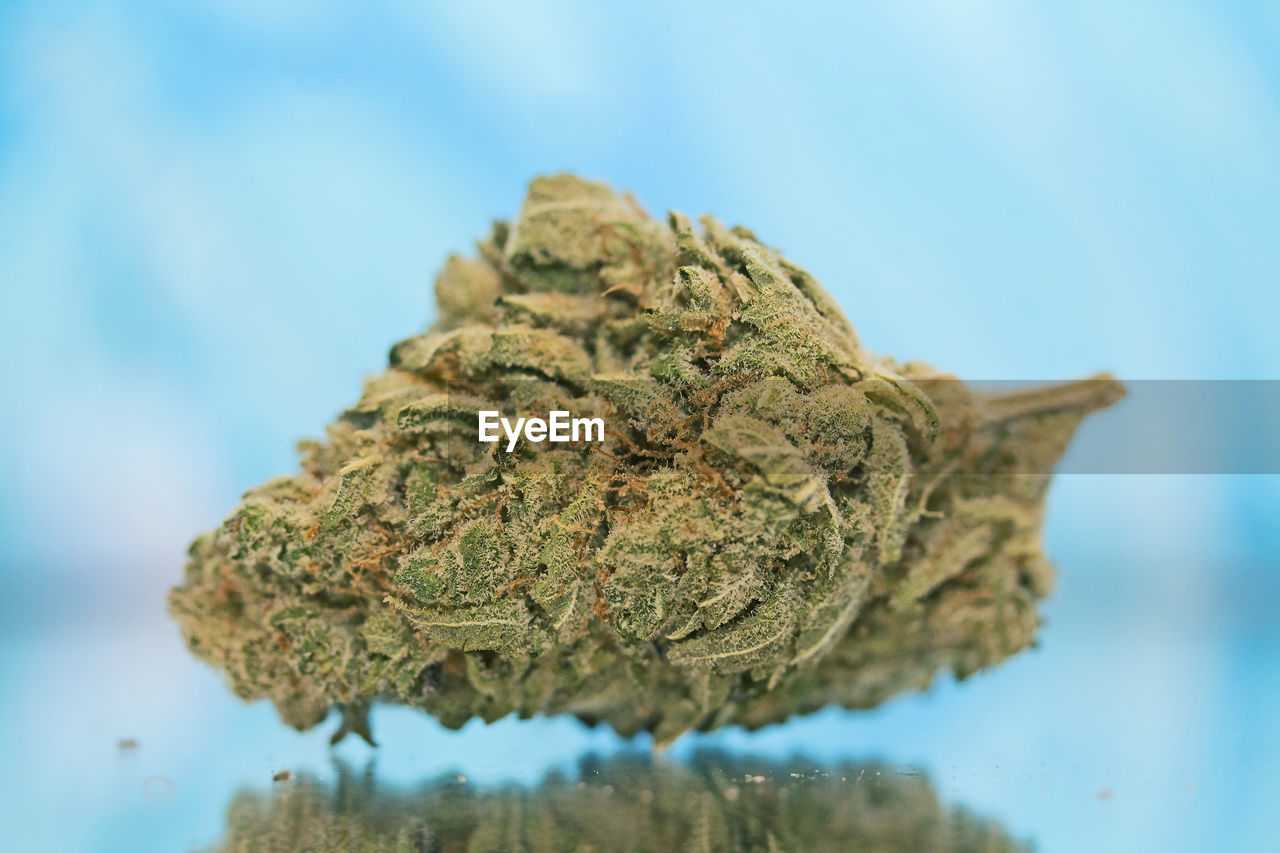 marijuana - herbal cannabis, close-up, cannabis plant, plant, herbal medicine, selective focus, medicine, healthcare and medicine, no people, indoors, narcotic, focus on foreground, food and drink, medical cannabis, nature, herb, green color, single object, food, cannabis - narcotic