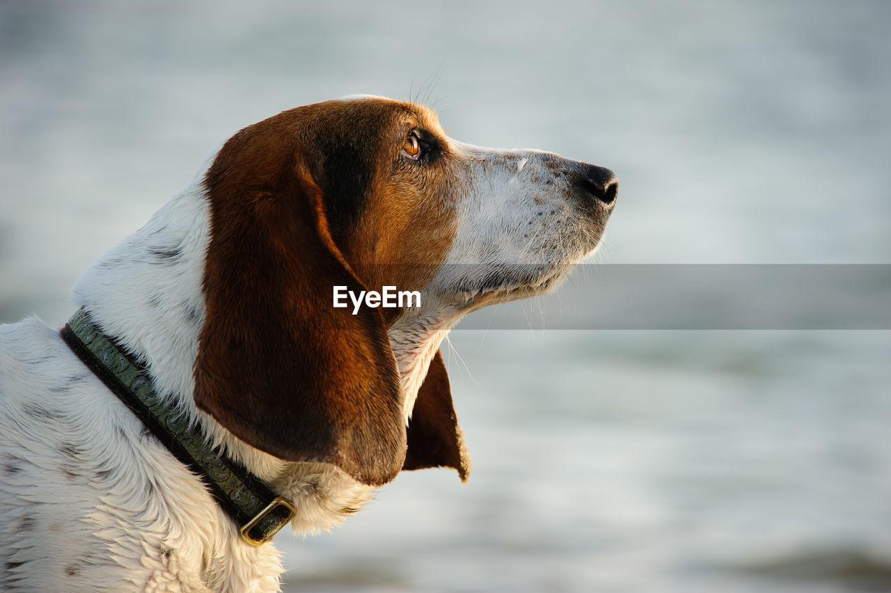 Close-Up Of Basset Hound Dog Looking Away