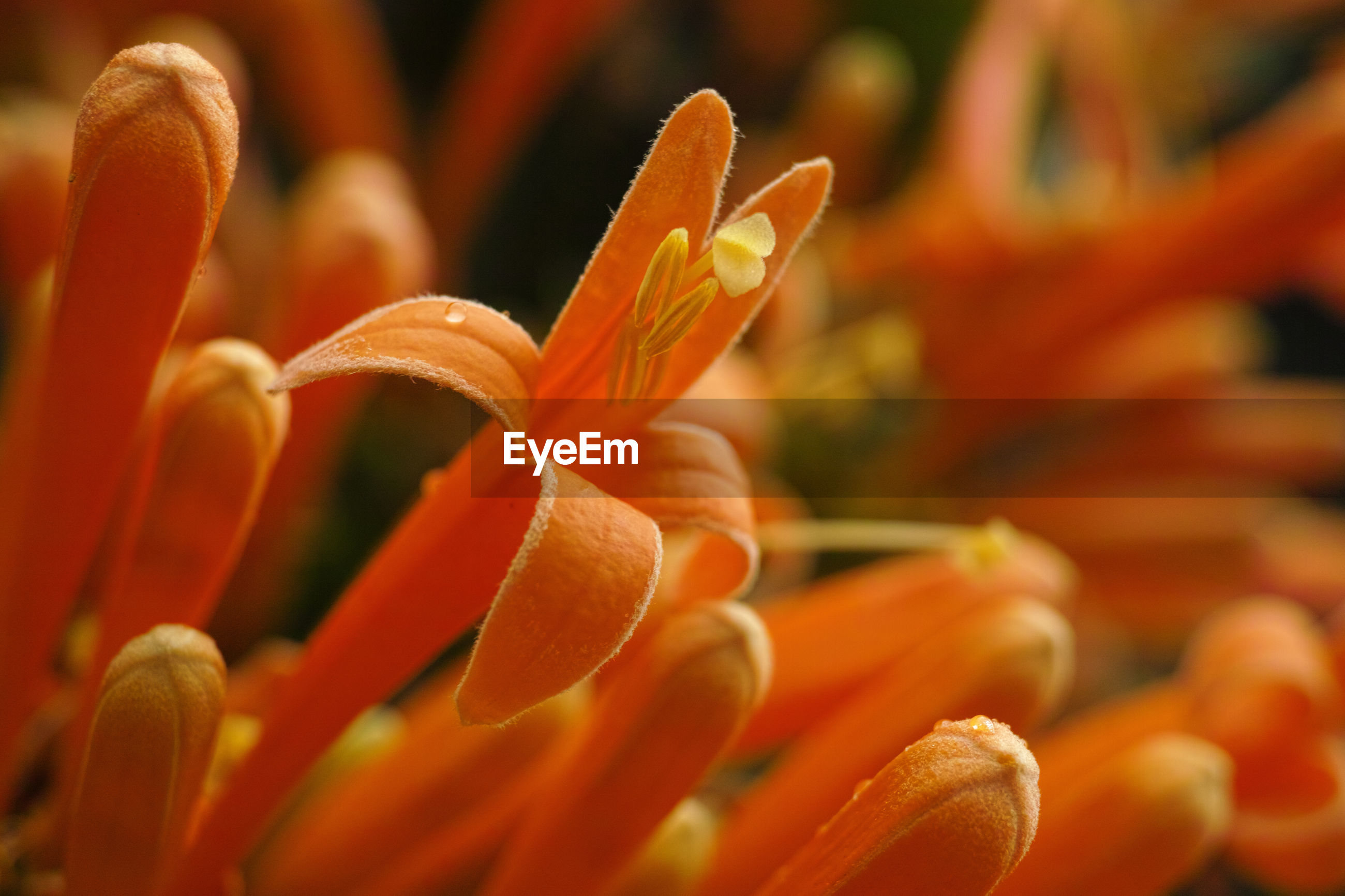 CLOSE-UP OF ORANGE DAY LILY