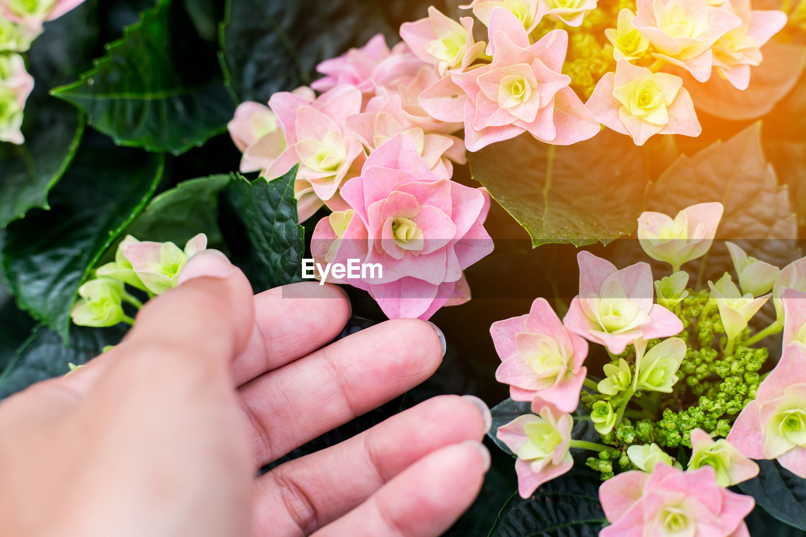 Close-up of hand holding flowering plants