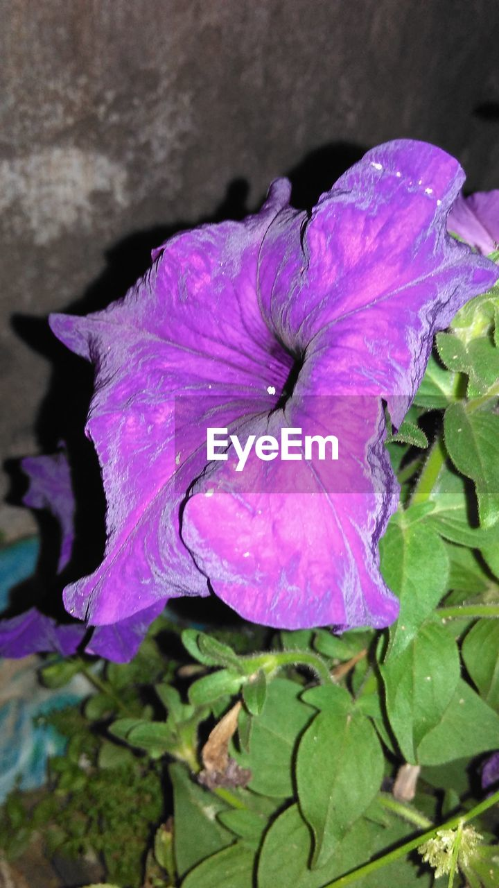 flower, petal, nature, growth, beauty in nature, fragility, plant, leaf, flower head, freshness, day, outdoors, no people, close-up, blooming, petunia