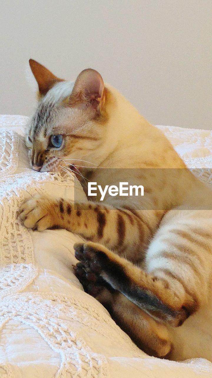 Close-Up Of Playful Bengal Cat On Sofa