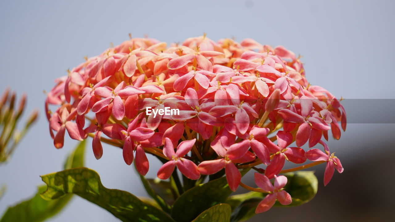 petal, beauty in nature, flower, pink color, growth, nature, fragility, ixora, focus on foreground, freshness, flower head, plant, no people, close-up, blooming, day, outdoors