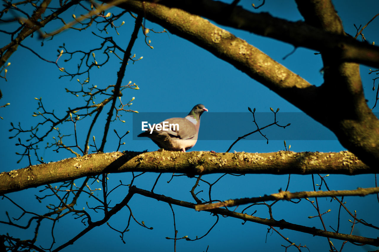 vertebrate, bird, animal themes, animal, perching, tree, animal wildlife, branch, animals in the wild, one animal, plant, low angle view, no people, nature, day, sky, outdoors, bare tree, blue, clear sky