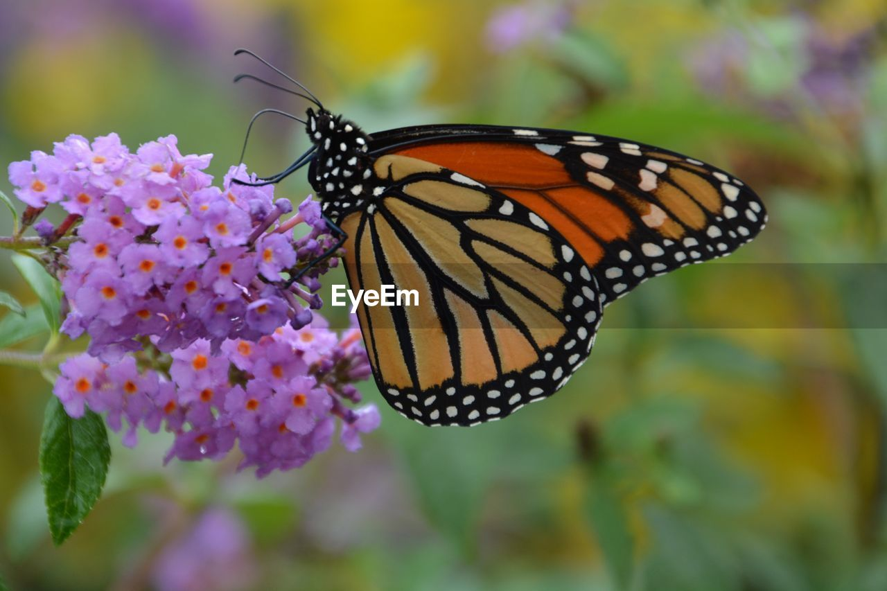 flower, beauty in nature, flowering plant, animal wing, invertebrate, butterfly - insect, plant, animal themes, animal, animal wildlife, insect, fragility, one animal, close-up, vulnerability, animals in the wild, nature, freshness, petal, growth, no people, flower head, pollination, outdoors, butterfly, lantana