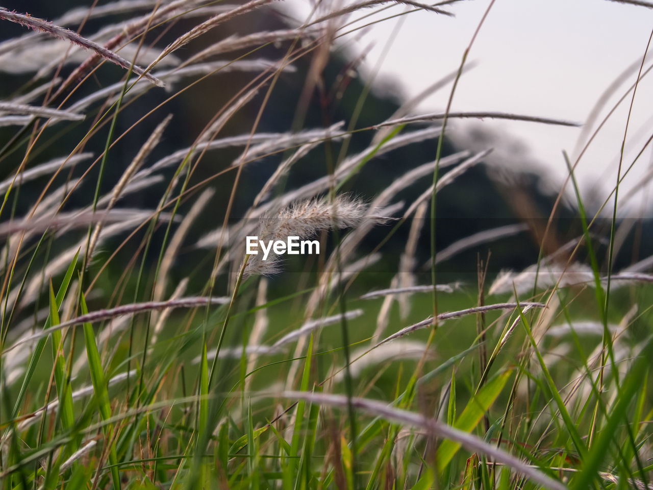 plant, one animal, animal themes, grass, animal, growth, no people, nature, mammal, selective focus, land, vertebrate, day, field, animal wildlife, feline, close-up, animals in the wild, focus on foreground, green color, outdoors, blade of grass, whisker