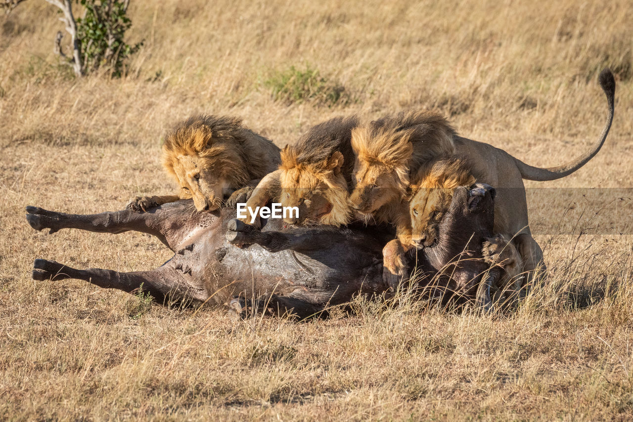 Lion family eating prey on field
