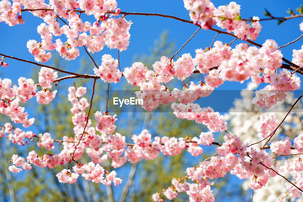 flowering plant, flower, fragility, plant, vulnerability, beauty in nature, tree, branch, freshness, blossom, growth, springtime, low angle view, pink color, nature, day, close-up, cherry blossom, no people, sky, outdoors, cherry tree, flower head, plum blossom, spring