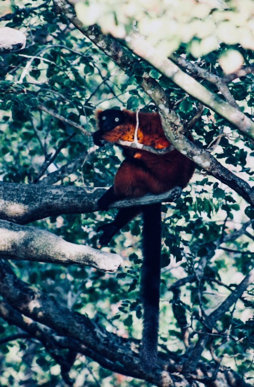 animal themes, tree, one animal, animal, animals in the wild, plant, animal wildlife, vertebrate, mammal, branch, nature, primate, no people, monkey, day, outdoors, low angle view, growth, land, selective focus