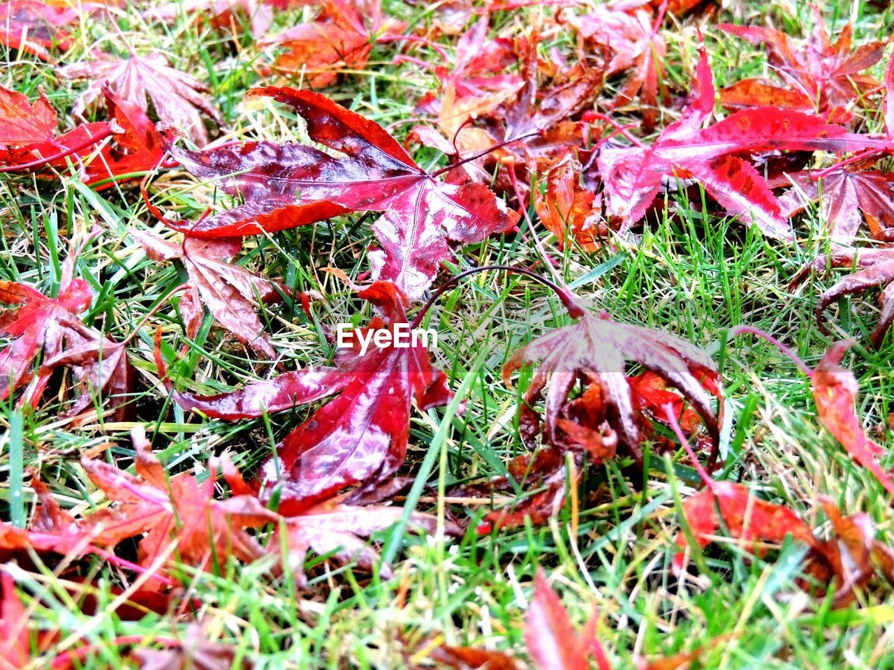 autumn, nature, change, leaf, dry, outdoors, day, no people, beauty in nature, grass, red, field, growth, fragility, close-up, maple
