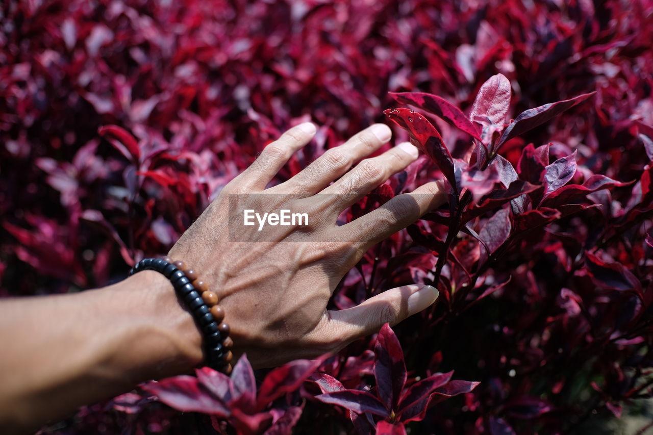 Close-Up Of Hand Touching Maroon Plants
