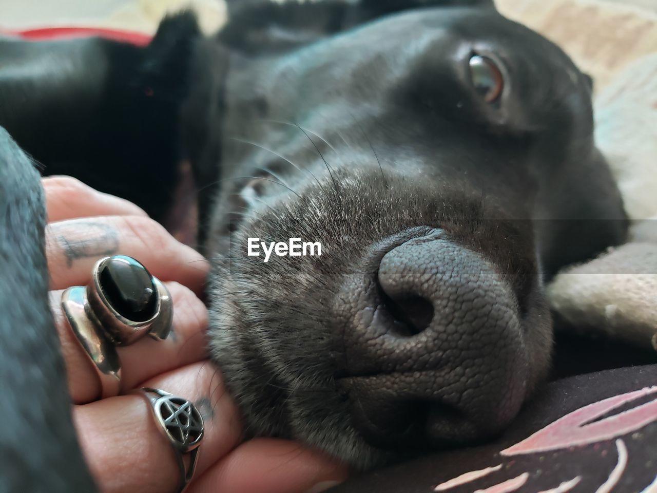 human hand, hand, animal themes, animal, mammal, one animal, domestic animals, human body part, pets, real people, domestic, one person, vertebrate, holding, finger, human finger, close-up, unrecognizable person, canine, body part, animal head, pet owner, animal nose
