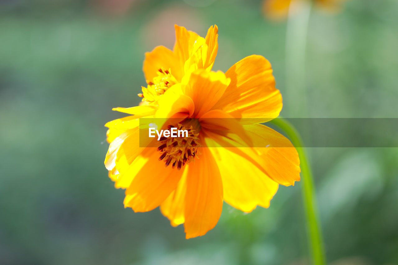 flowering plant, flower, yellow, fragility, flower head, vulnerability, inflorescence, freshness, petal, beauty in nature, growth, plant, close-up, focus on foreground, nature, no people, pollen, day, outdoors