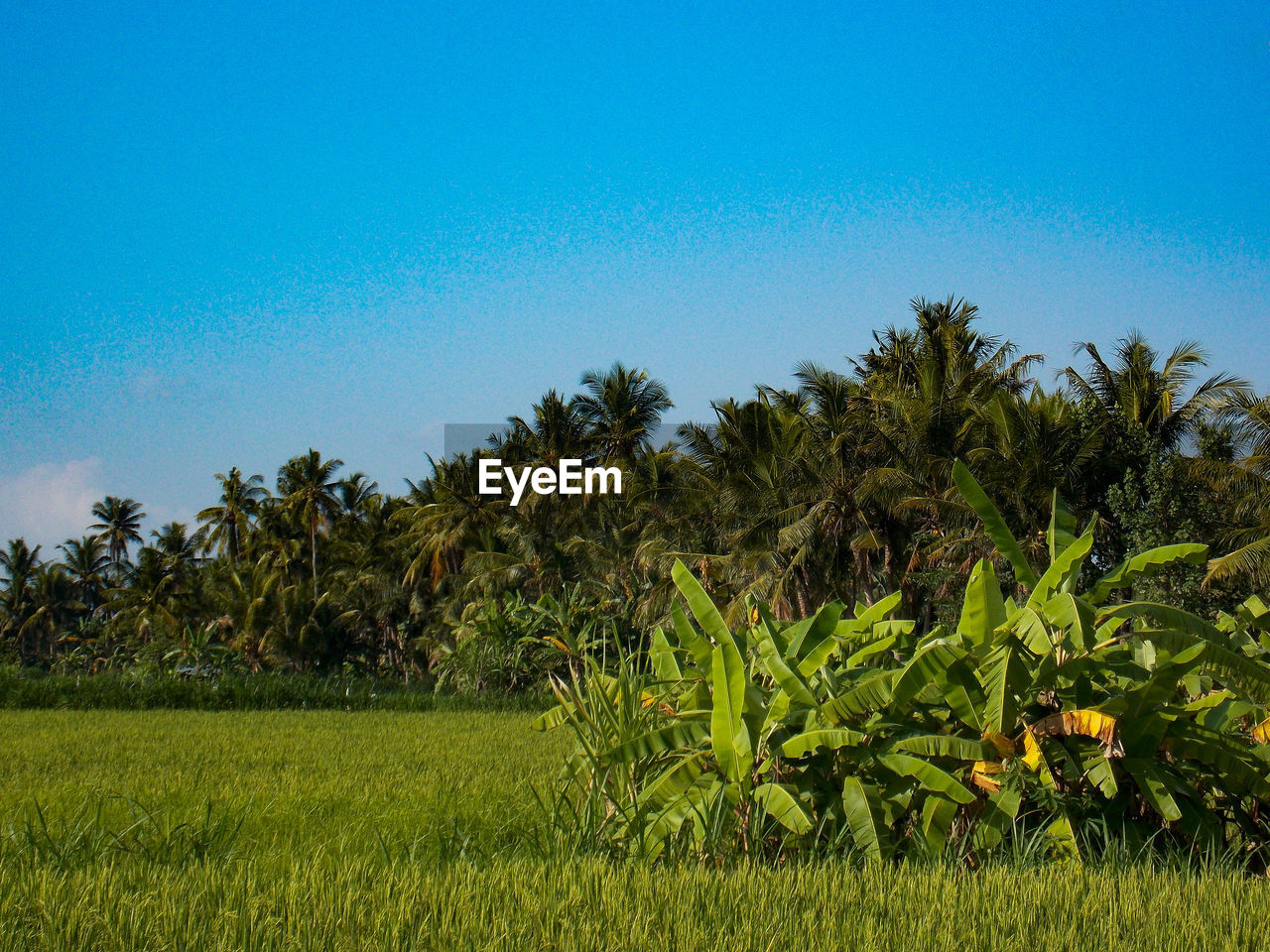 plant, growth, tree, sky, green color, beauty in nature, scenics - nature, palm tree, tranquility, landscape, land, nature, tranquil scene, tropical climate, environment, clear sky, field, grass, blue, day, no people, outdoors, coconut palm tree, plantation