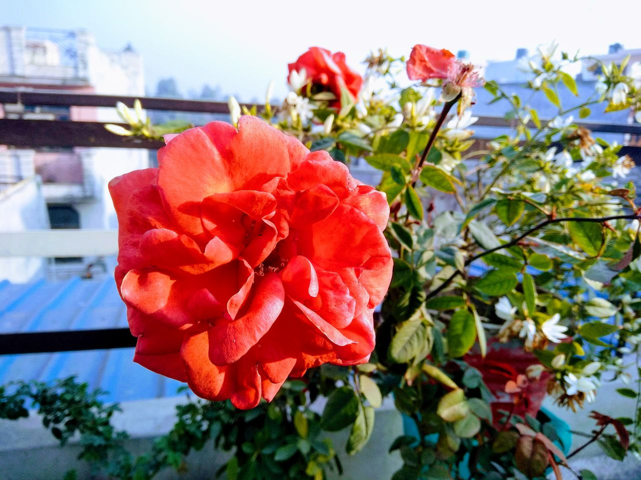 flower, petal, fragility, freshness, nature, beauty in nature, growth, flower head, red, rose - flower, blooming, day, no people, outdoors, focus on foreground, plant, close-up, sky