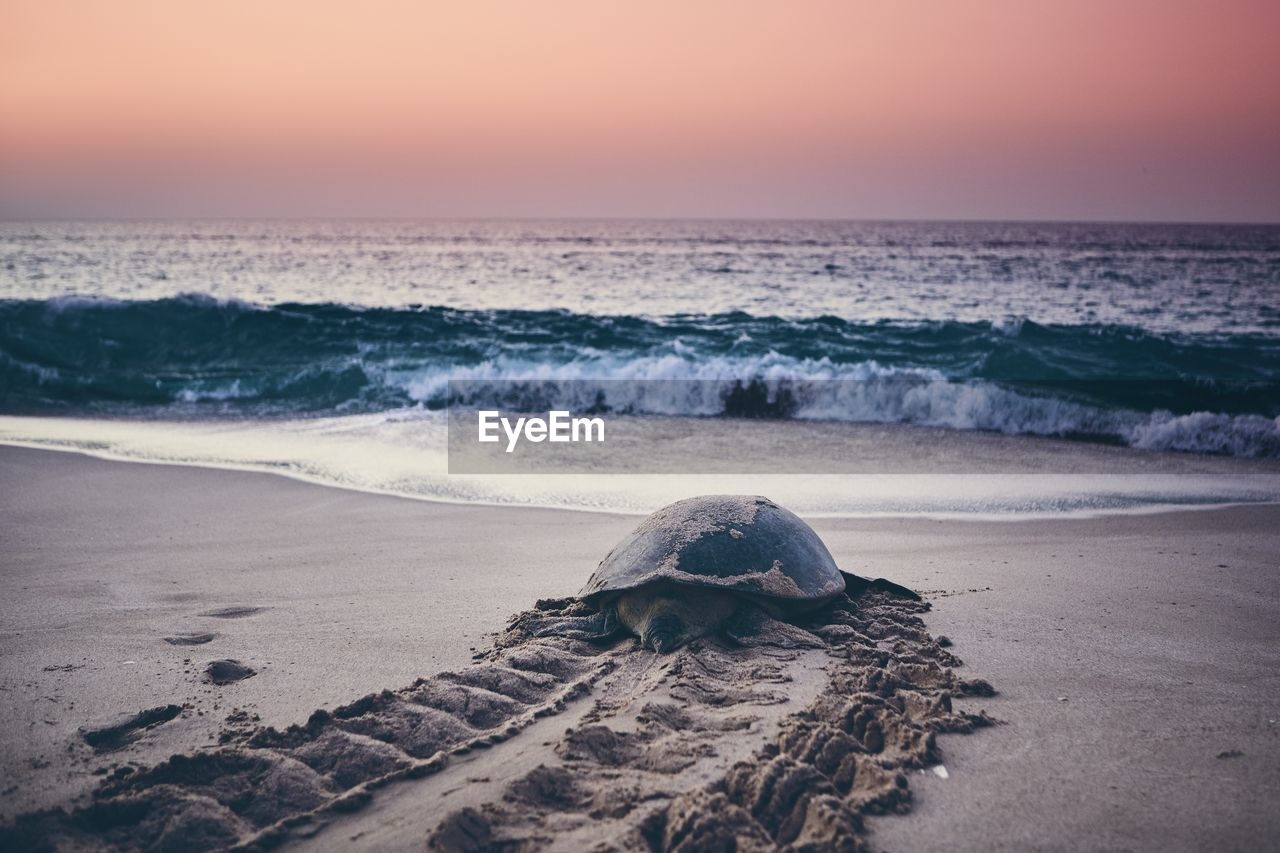 sea, water, beach, land, horizon over water, sky, horizon, one animal, beauty in nature, animal, animal themes, motion, sunset, animal wildlife, animals in the wild, turtle, nature, sand, scenics - nature, no people, outdoors, marine