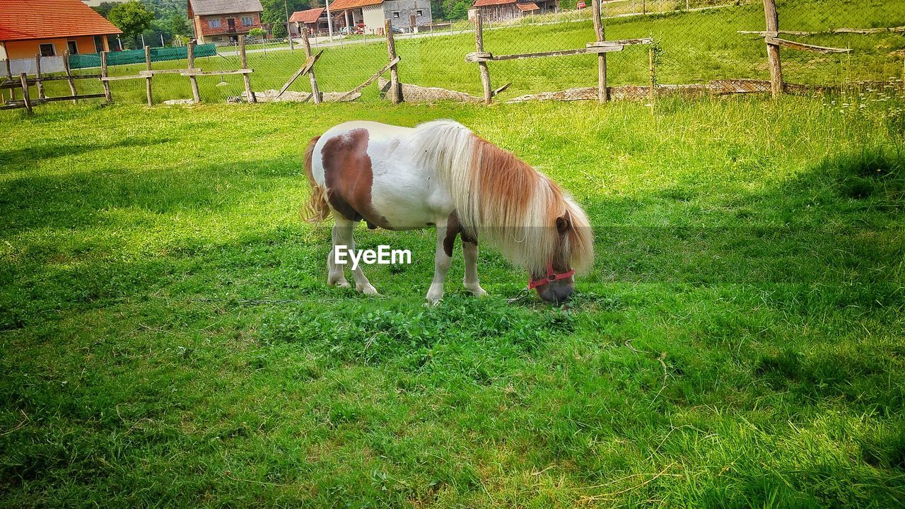 grass, domestic animals, animal themes, horse, mammal, field, livestock, green color, one animal, grazing, green, nature, no people, day, outdoors, standing, growth, beauty in nature