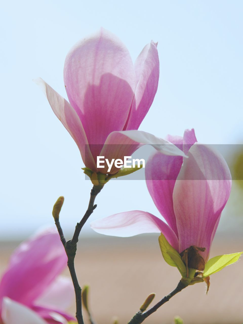 flowering plant, flower, vulnerability, fragility, beauty in nature, pink color, petal, freshness, plant, close-up, growth, flower head, inflorescence, nature, sky, no people, magnolia, day, focus on foreground, botany, outdoors, springtime, purple, sepal