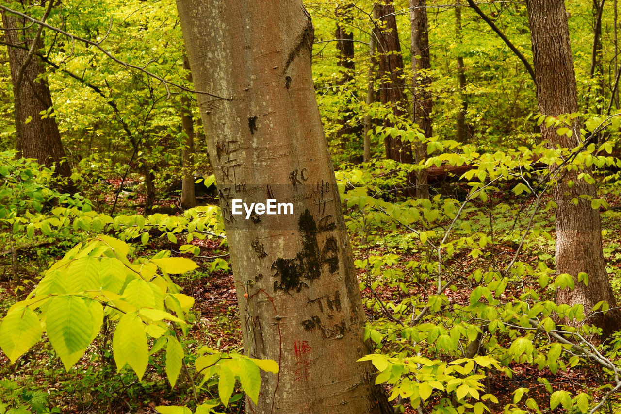 tree, forest, tree trunk, growth, leaf, nature, plant, no people, day, green color, outdoors, beauty in nature, branch, close-up