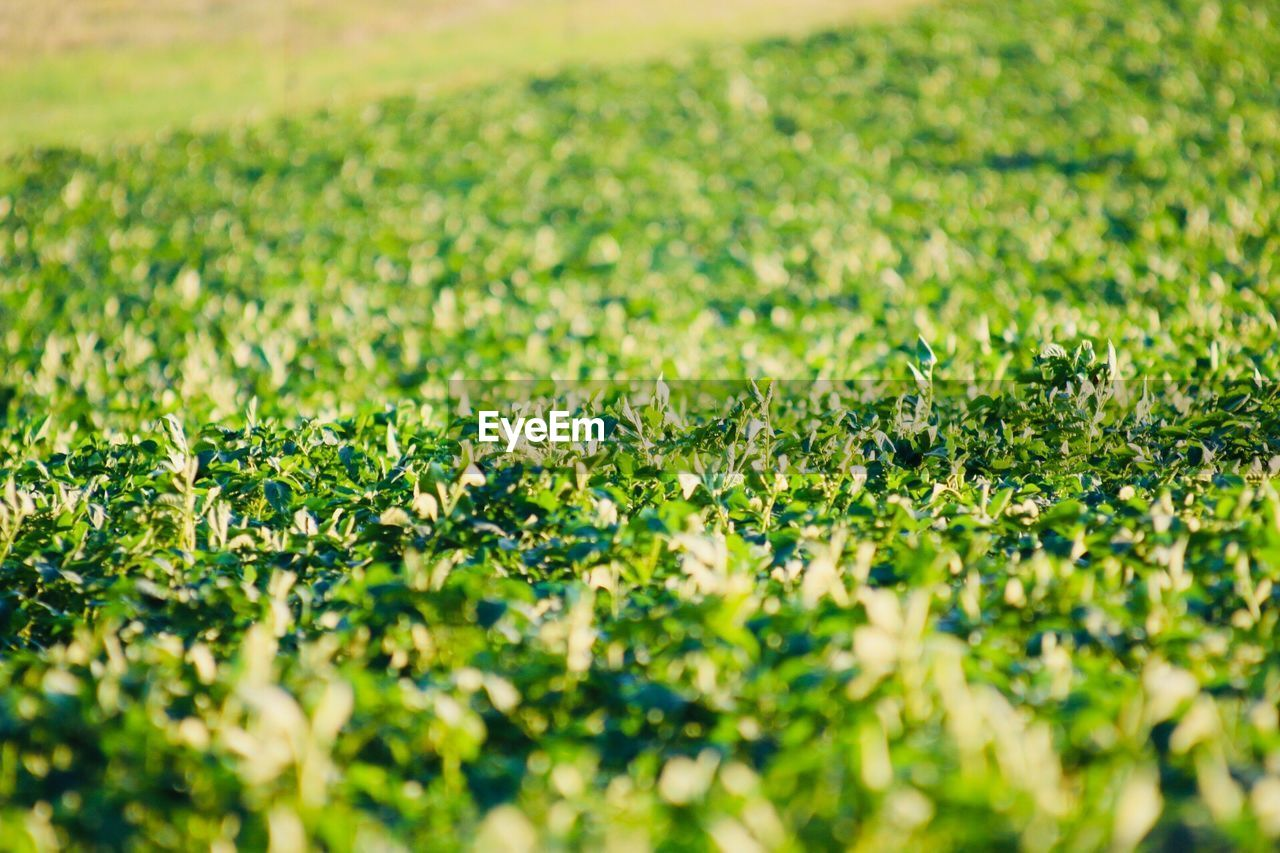 field, selective focus, plant, land, beauty in nature, growth, flower, green color, flowering plant, nature, day, full frame, freshness, no people, rural scene, fragility, tranquility, landscape, vulnerability, grass, outdoors, springtime, flower head, plantation