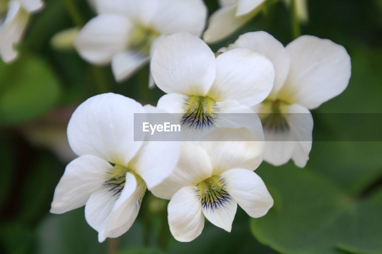 flowering plant, flower, vulnerability, fragility, plant, beauty in nature, close-up, growth, freshness, petal, flower head, inflorescence, white color, focus on foreground, nature, no people, day, selective focus, botany, outdoors